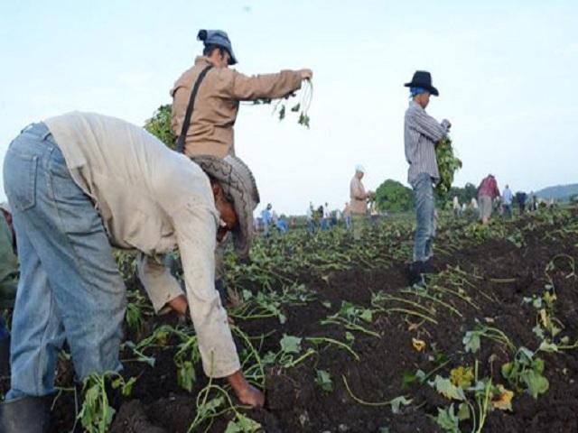 Agricultores de Quivicán alcanzan resultados satisfactorios en campaña de primavera.