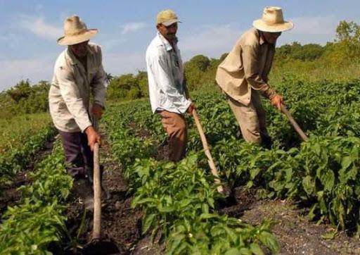 Destaca en el país resultados del sector agrícola de Mayabeque