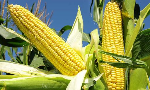 Innovadores del Taller de Maquinaria de Caraballo recuperan cosechadoras de maíz