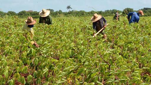 Impulsan producción de alimentos en Nueva Paz (Audio)