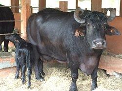 Cambian manejo de crianza de búfalas en Instituto de Ciencia Animal (+Audio)
