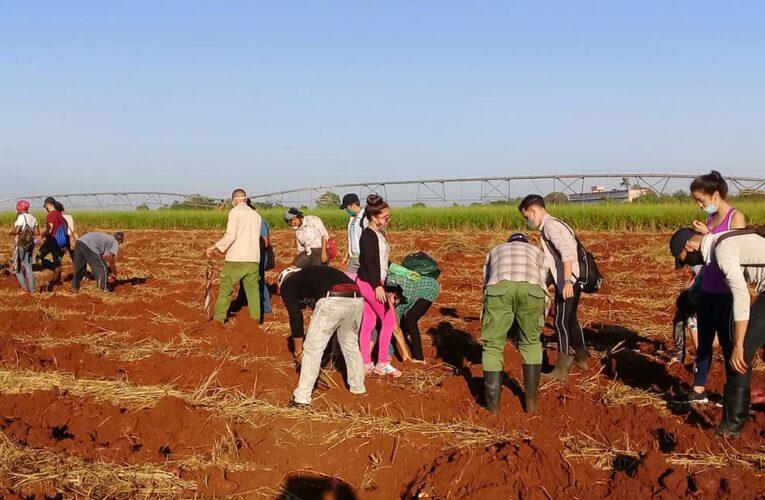 Trabajos voluntarios en Mayabeque