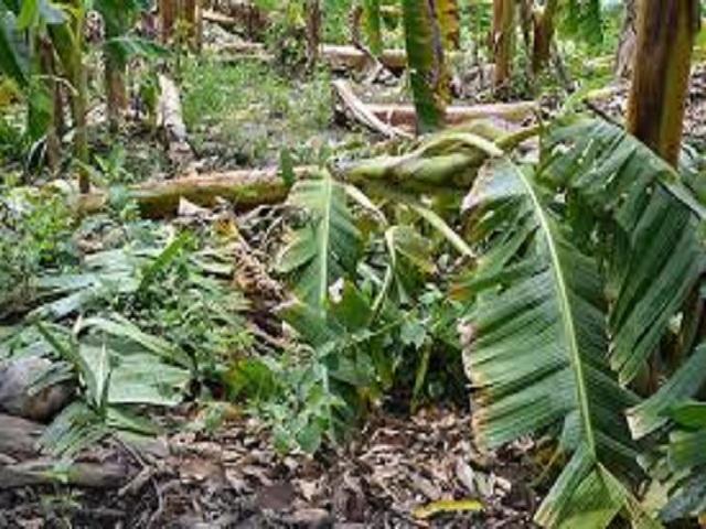 Evalúan  afectaciones de la agricultura provocadas por la tormenta tropical Laura