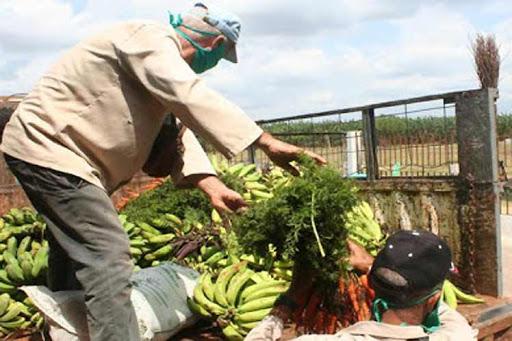 Mayabeque intensifica producción de alimentos ante la Covid-19 (+ Audio)