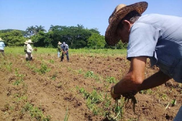 Asumen múltiples retos campesinos de Güines (Audio)