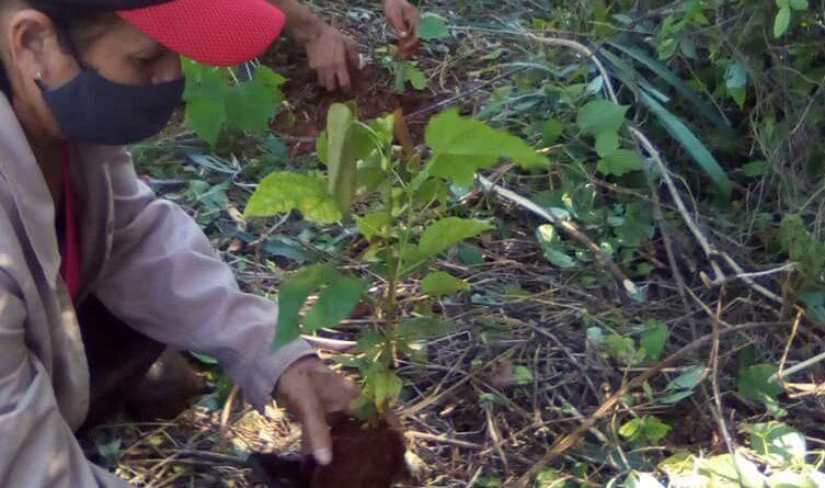 Reforestan bosques de Escaleras de Jaruco: paisaje natural protegido.