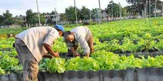 Lechugas, variedades de col, remolacha, perejil, pepino, zanahoria, habichuela, entre otras, están a la venta en el huerto semiprotegido. Foto: Archivo