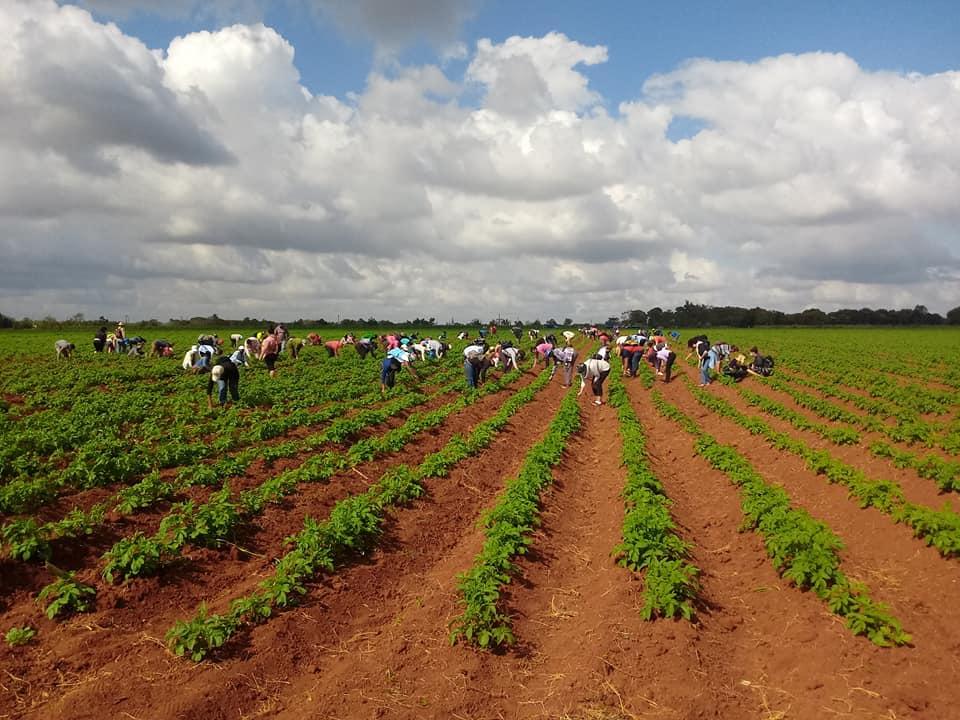Jóvenes y trabajadores de Batabanó contribuyen a la producción de alimentos.