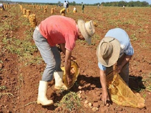 Iniciará por Mayabeque la cosecha de papa en Cuba.