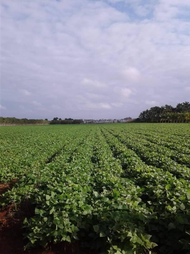 Entidades agrícolas de Batabanó aumentan el empleo de tabaquina.
