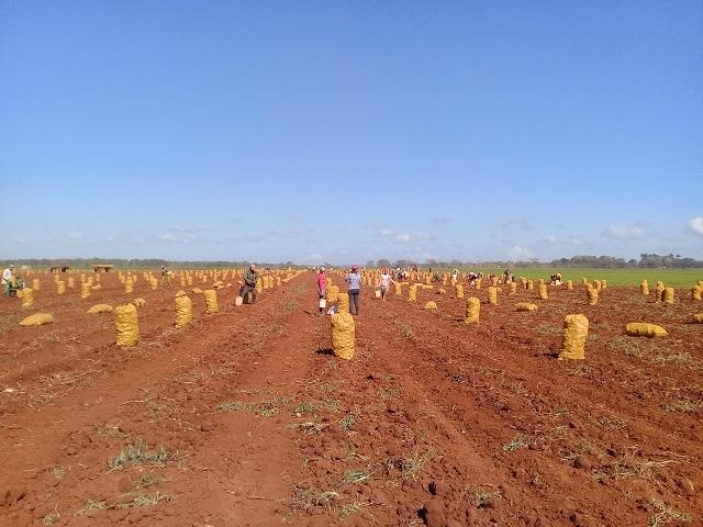 Comenzó cosecha de papa en Melena del Sur (Audio y Fotos)