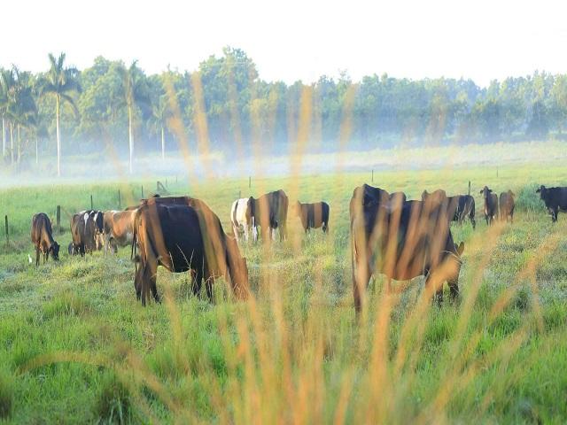 Científicos y ganaderos de Mayabeque contribuyen a la seguridad alimentaria del país.