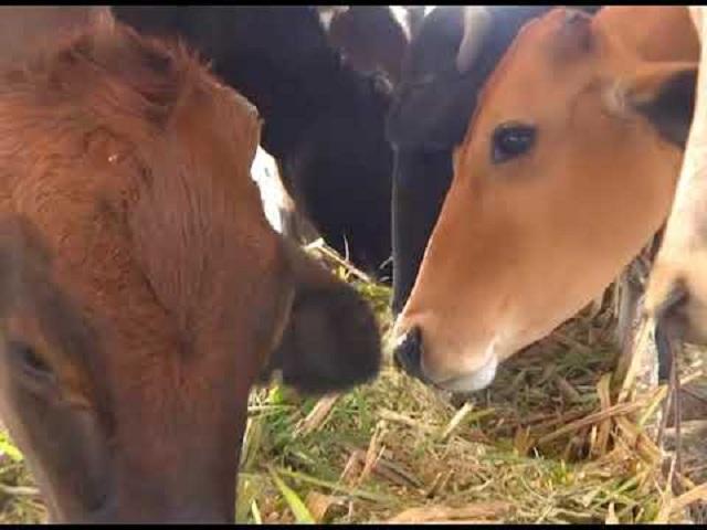 Intensifican siembra de plantas proteicas en Mayabeque para consumo animal.