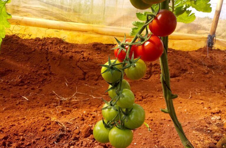 """Instituto de Investigaciones Hortícolas """"Liliana Dimitrova"""" asume reto de producción de semillas (Fotos)"""