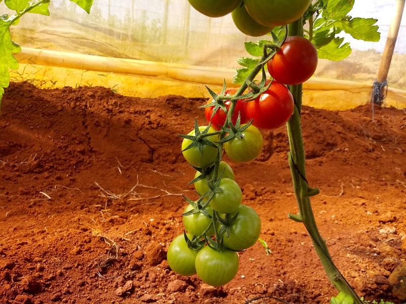 La producción de semillas de tomate disminuye las importaciones.