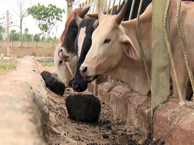 Esperan  buenos resultados en campaña de primavera ganaderos de Quivicán
