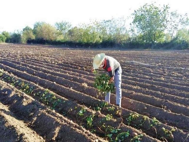 Campaña de siembra de primavera muestra resultados satisfactorios en Quivicán