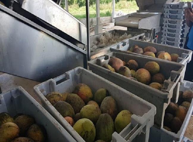 Pulpa de mango, uno de los productos líderes en la industria de Quivicán