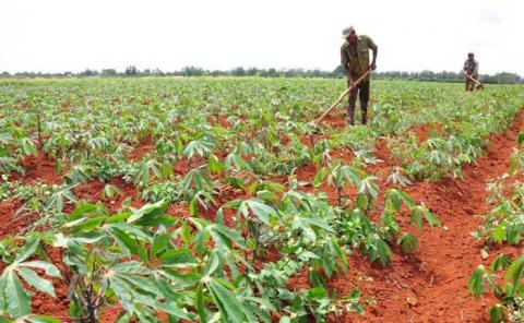 A buen ritmo implementación de Tarea Ordenamiento en la agricultura de Mayabeque  (+ Audio)