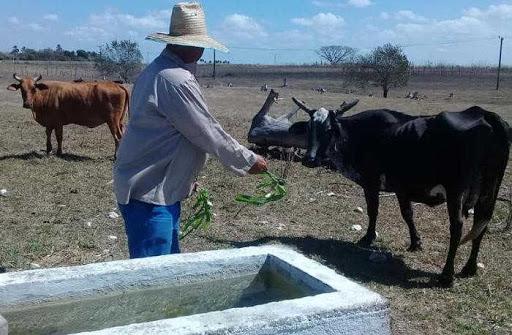 Aprueban a productores agropecuarios de Batabanó sacrificio y comercialización de  carne vacuna (+ Audio)