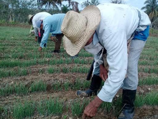 Apoyan producción de alimentos sucursales bancarias de Jaruco  (+ Audio)