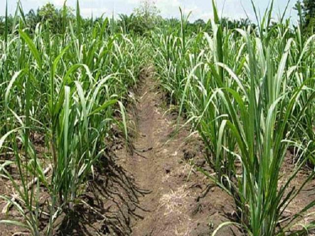 Garantizan disponibilidad de materia prima para venidera zafra azucarera a partir de la siembra de caña