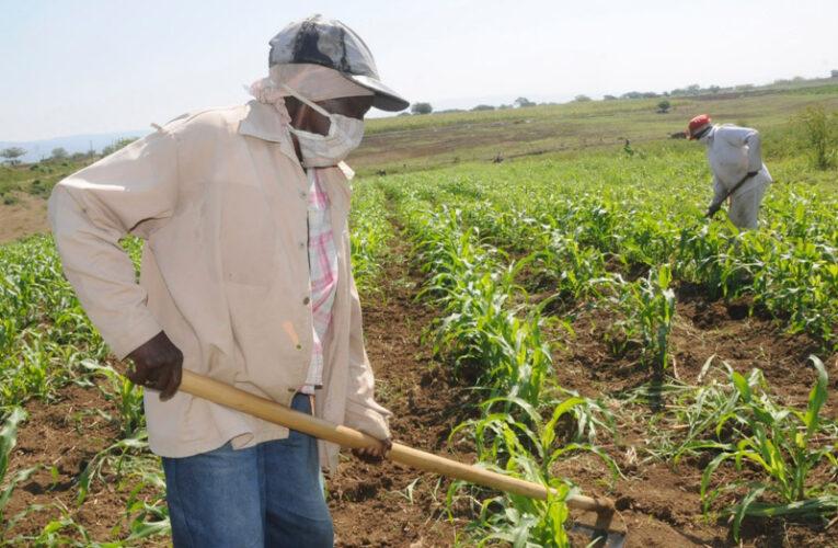 Labores de siembra de productos agrícolas en Madruga (+ Audio)